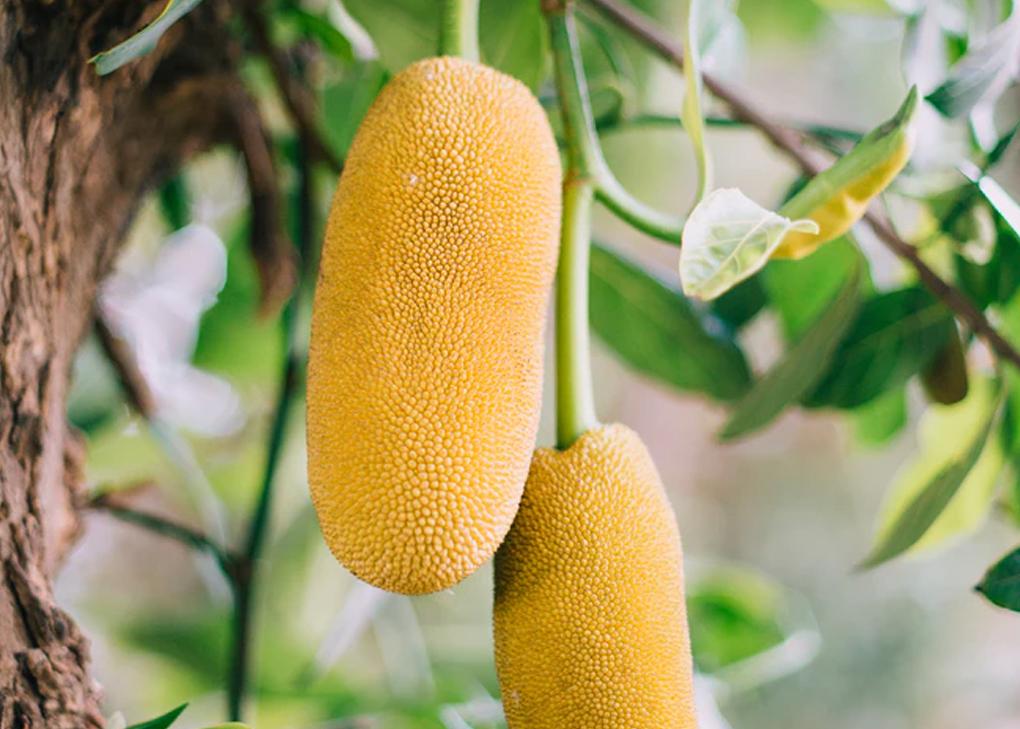beneficios de consumir jackfruit